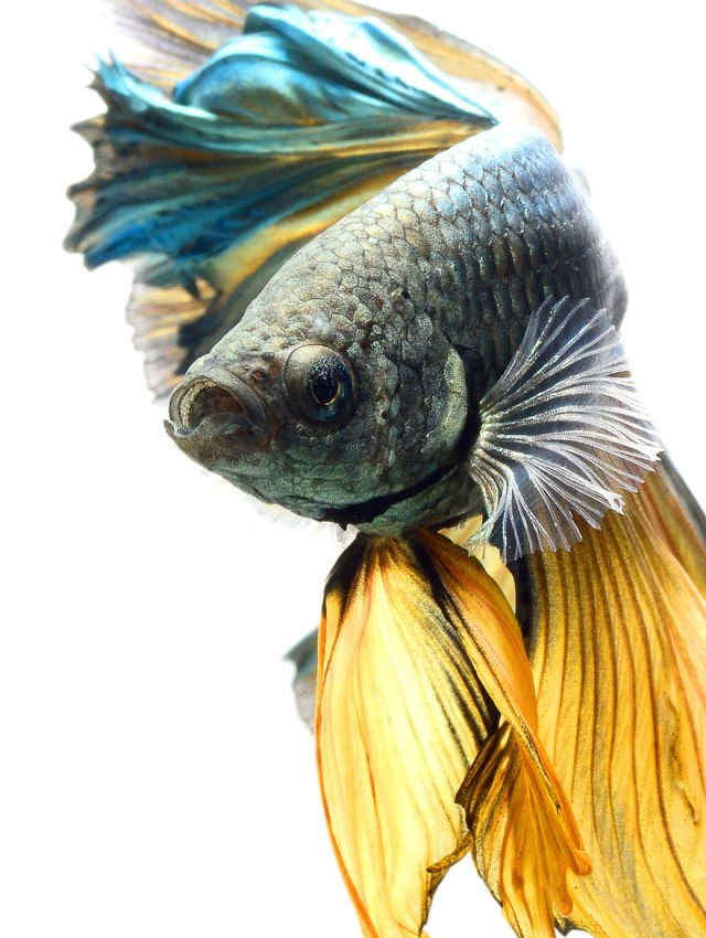 siamese-fighting-fish-portraits-visarute-angkatavanich-5__880