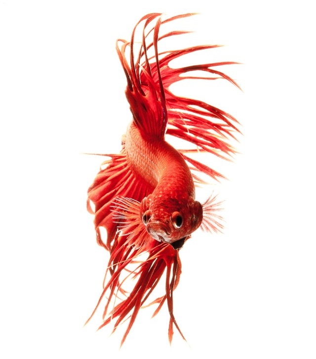 siamese-fighting-fish-portraits-visarute-angkatavanich-9__880