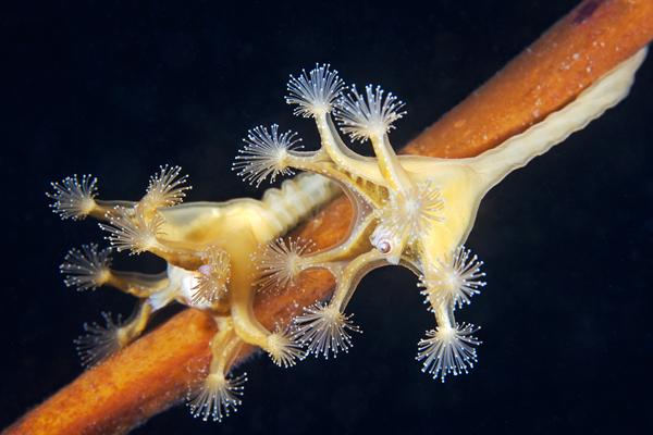 stalked-jelyfish