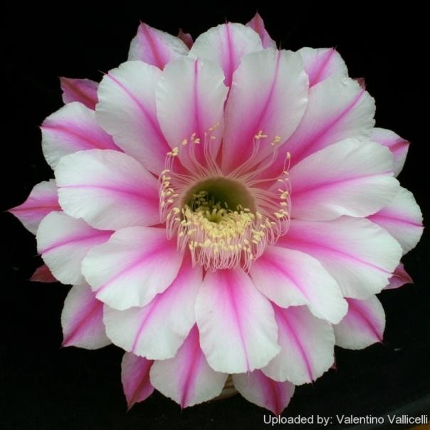 Echinopsis_cv._Galaxy_13804_l