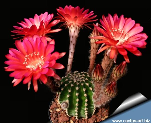 Echinopsis_madame_pele_blooms_810