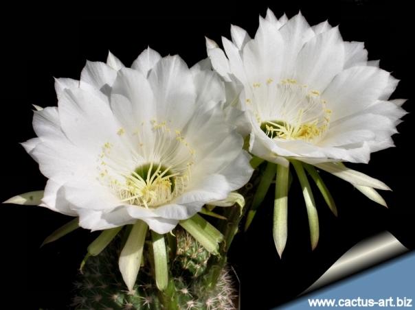 Echinopsis_mammillosa_fl_810