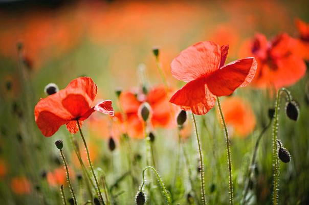 red-poppies-field-jacky-parker-photography