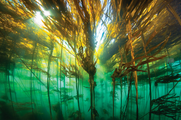 Sunlight pours through the fronds of kelp floating on the surface of the ocean.